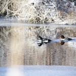 These beautiful ducks call the small section of unfrozen marsh home. Eiders?
