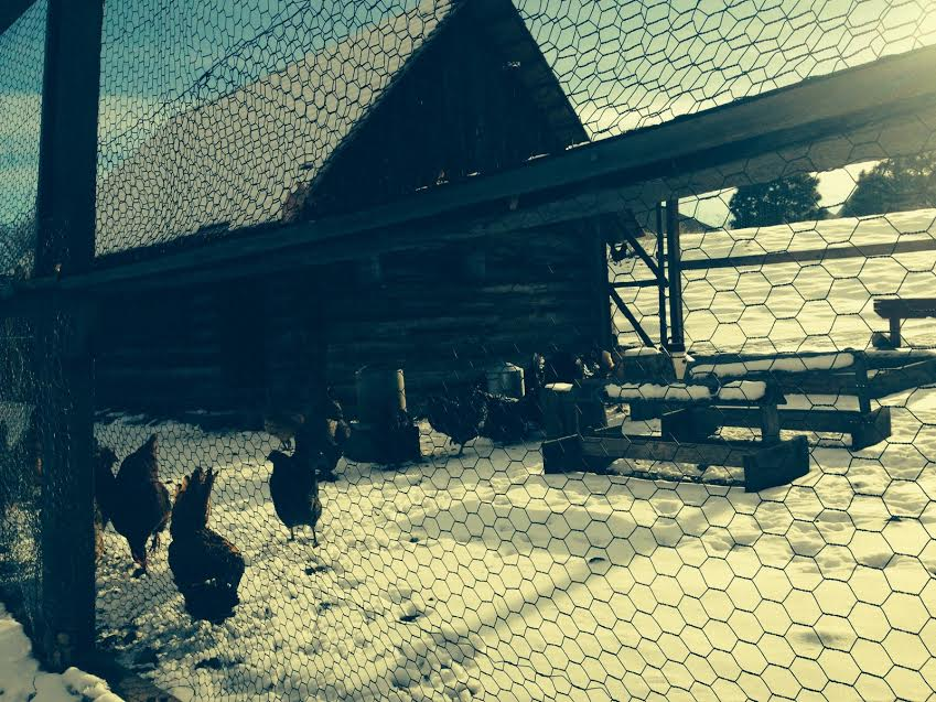 ladies of the hen house. just a few minute walk from our house.