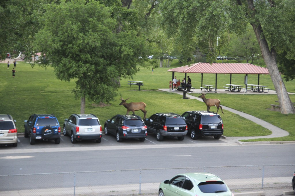Elk wandering through the park. I took this picture from our window one evening.