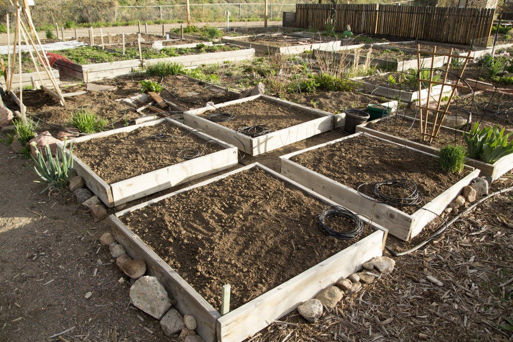 The beds all cleaned out, weeded, turned over and mixed with topsoil and compost.