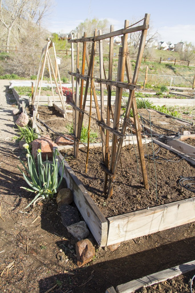 Pea trellis from random piles of unused garden stuff behind the shed.
