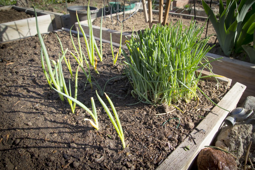 Transplanted the green onions into a couple nice rows. We have a few more to plant if there is room.
