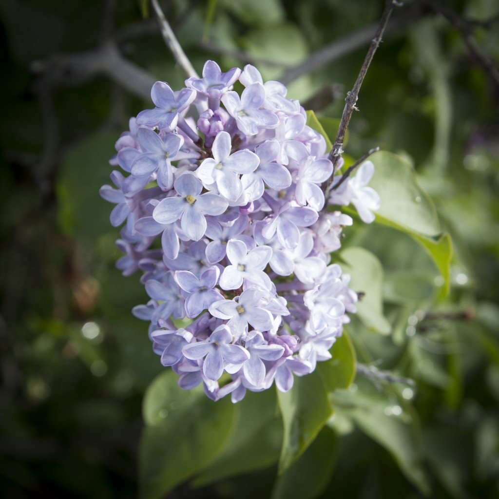 Although the spring rains don't help the climbing, they do create an amazing heavy fragrance from all the blooming lilacs.