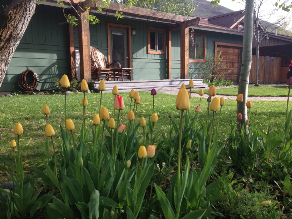 Tulips in the front yard.