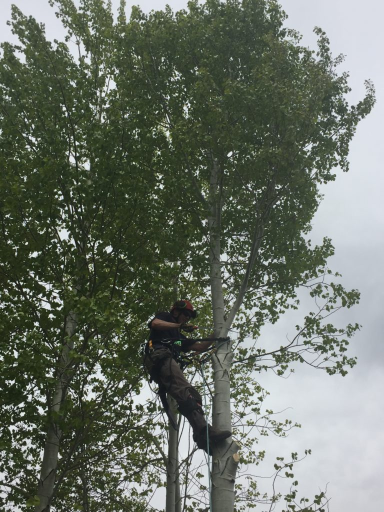 Climbing and taking down my first aspen.